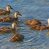 Flock of Juvenile Blue Winged Teal.