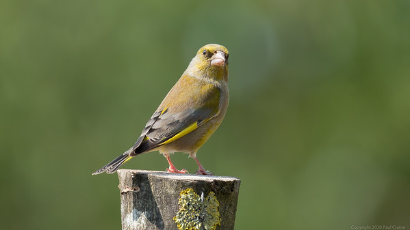 Greenfinch Portrait 2 - taken from bedroom window during lockdown 2020