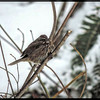 Song Sparrow ~ Melospiza melodia