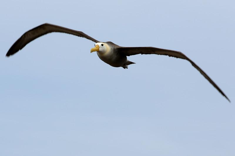 Waved Albatross, Punta Suarez, Española, Galápagos Islands, Ecuador