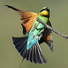 Rainbow Bee Eater,<br /> Gold Coast Spit,<br /> Queensland.
