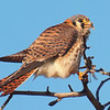 Happy Little Kestrel