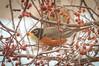 American Robin, Turdus miratorius