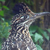 Portrait Of A Greater RoadRunner