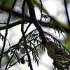 Pine Siskin ~ Carduelis pinus