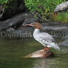 Mergus merganser-Common merganser 4