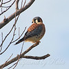 Relaxed Kestrel View 2