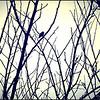 Silhouette of Anna's Hummingbird ~ Calypte anna