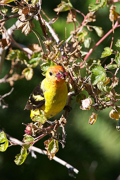 Western Tanager (nonbreeding male plumage)