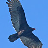 Turkey Vulture in Flight.