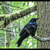 Watcher of the Woods:  American Crow ~ Corvus brachyrhynchos