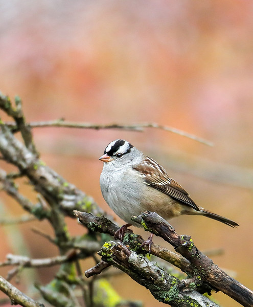 white crowned sparrow 2