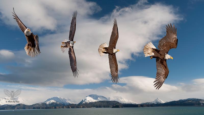 Bald Eagle Dive Bombing