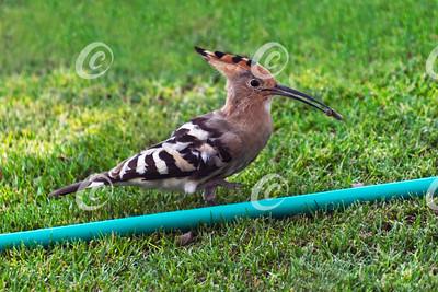 Hoopoe Duchifat Bird Eating a Grub