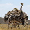 Struthio camelis-Ostriches 4
