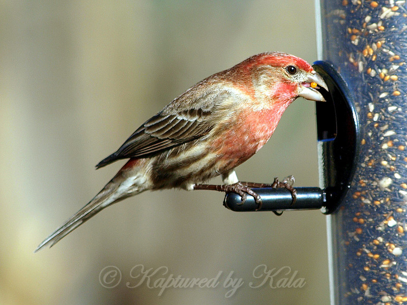 My Male House Finch Approves of my New Finch Feeder