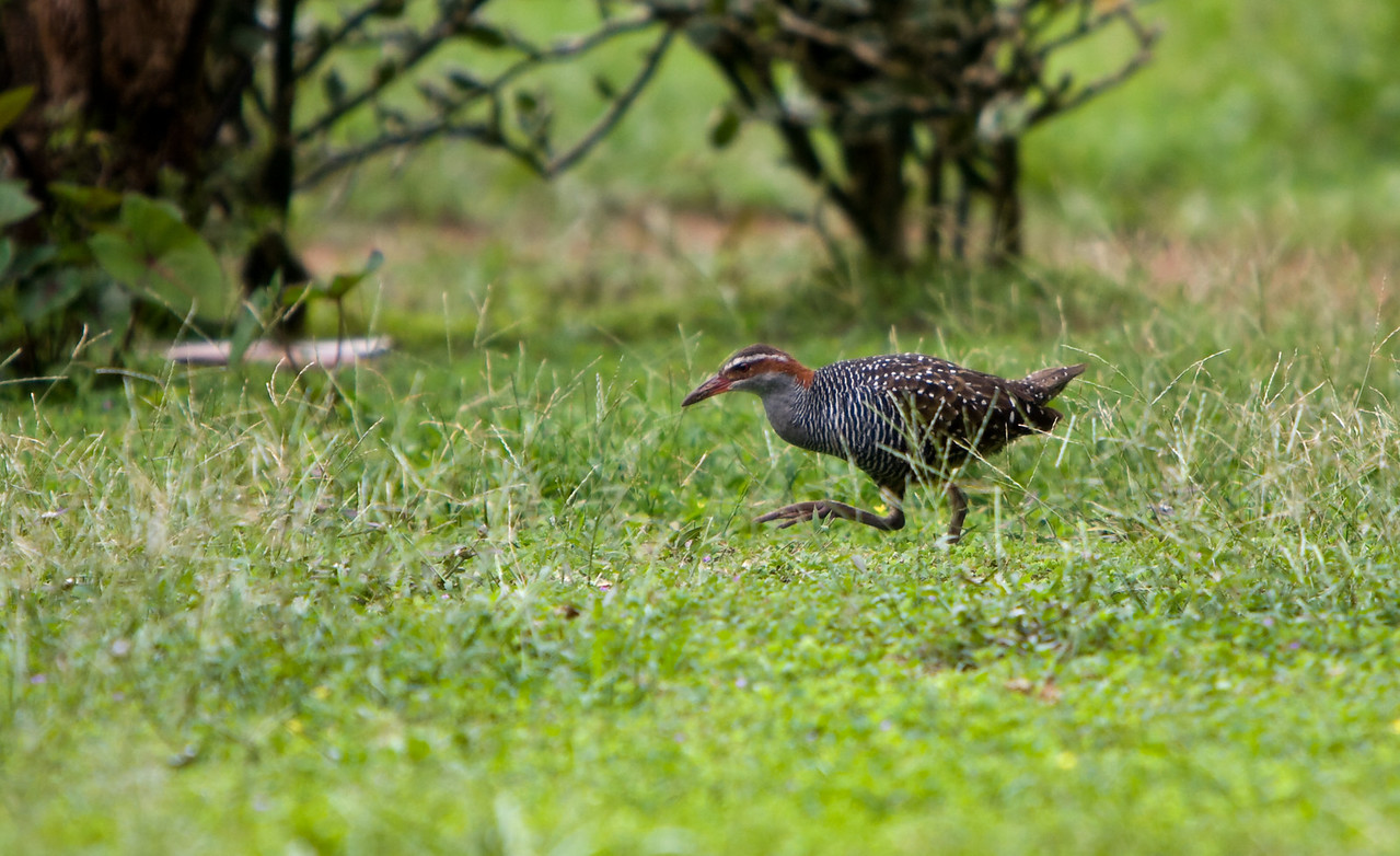 Buff-Banded Rail.<br /> <br /> Location: Gaua island, Vanuatu<br /> <br /> Lens used: Canon 70-200mm f2.8 IS with 1.4x extender