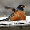 American Robin Cleaning One Wing at a Time