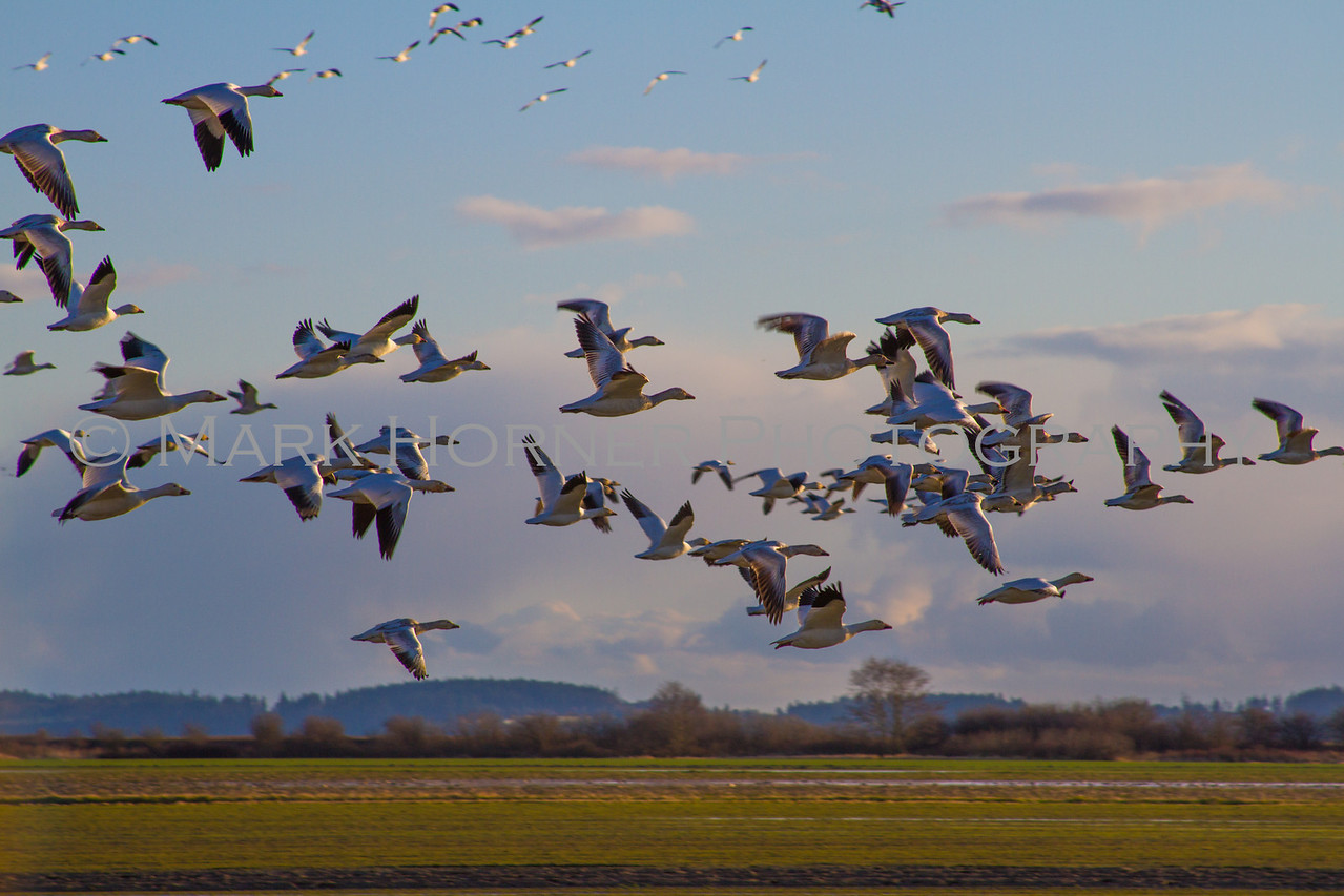 Snow Geese flying toward the setting sun on a February day in the Skagit Valley of Washington State.  February 2012.