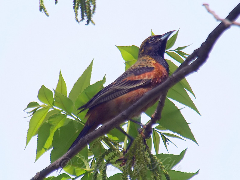 My First Orchard Oriole