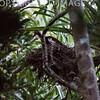 Madagascar Crested Ibis Lophotibis cristata