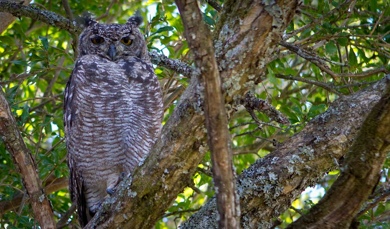 South African Owl