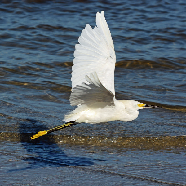 Little Egret takes flight .