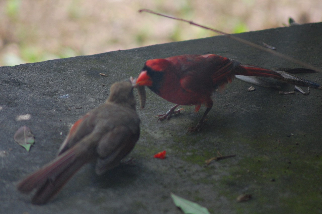 Female & Male Cardinal