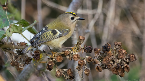 Goldcrest at Woolhampton 7 - 11th November2019