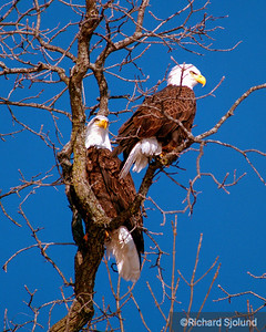 Bald Eagle pair in  Iowa