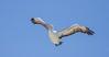 Pelican 15