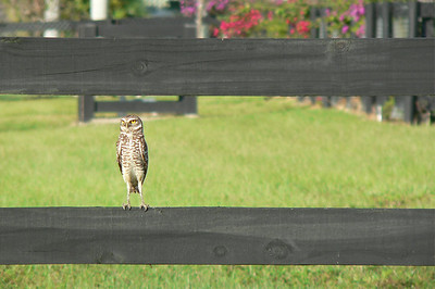 Ground Owl on a Fence