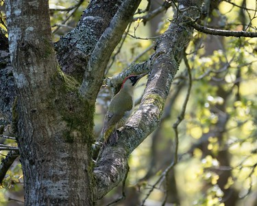 Green Woodpecker in Bowdown Woods - 3rd May 2018 2