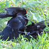 Red-winged Blackbird Death Match 25
