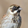 Reed Bunting Closeup at Farmoor 13th March 2017 2