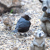 Male Brown Headed Cowbird