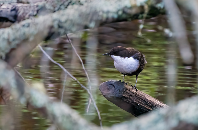 White-throated dipper in Moraåns dalgång nature reserve.