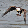 American Bald Eagle with its fresh catch.