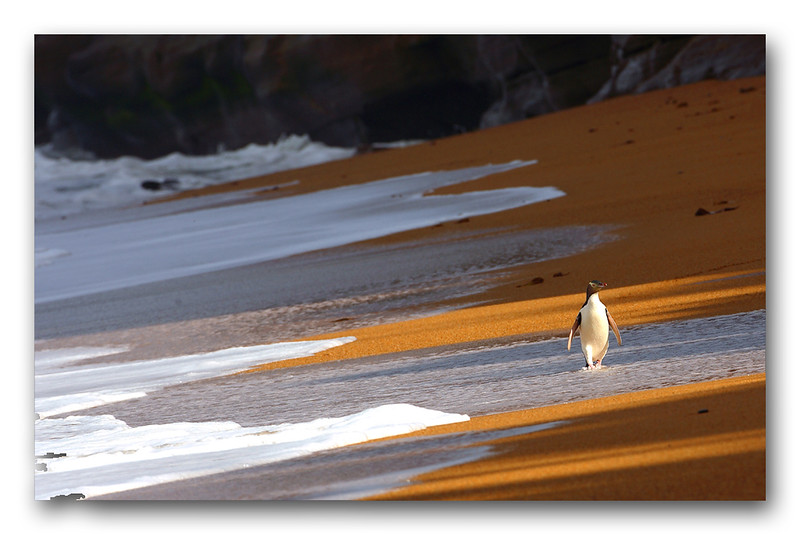 Yellow Eyed Penguin - runner up International Wild bird Photographer of the Year 2007
