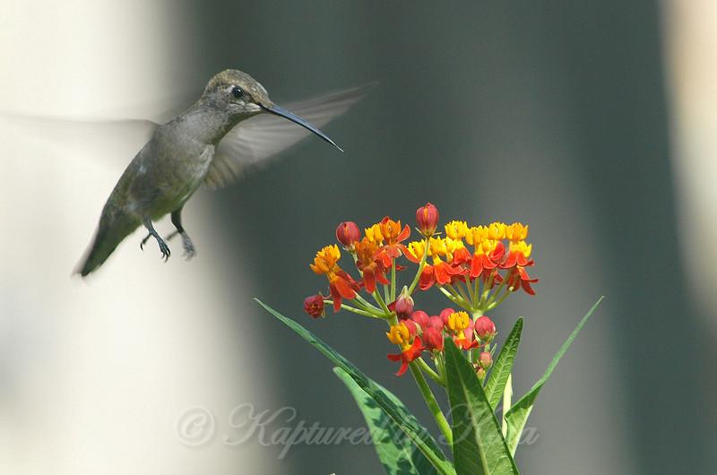Hummingbirds Like Milkweed View 3