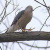 Papa Cooper's Hawk About To Fly To The Nest With The Stick