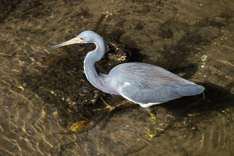 Small Blue Heron,  Bradenton Nature reserve, Florida