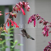 Archilochus colubris – Ruby throated hummingbird on 'Ember's Wish' Salvia 2