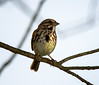 Song Sparrow along The Grand River at Eaton Rapids, Michigan. Nikon D800e, Nikon 300mm AF-S w/TC-14eII