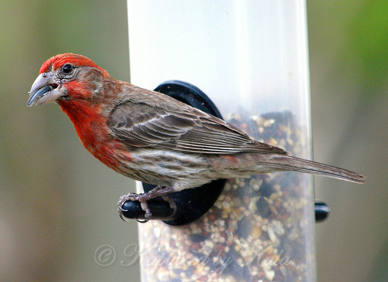 The House Finches Have Been Hanging Out Here Lately