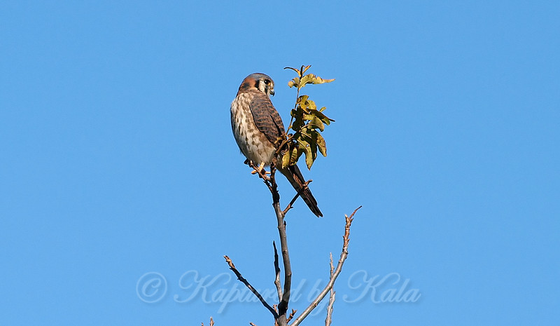 Pretty Little Kestrel View 2