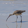 Numenius americanus-Long billed curlew 2
