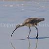 Numenius americanus-Long billed curlew 2