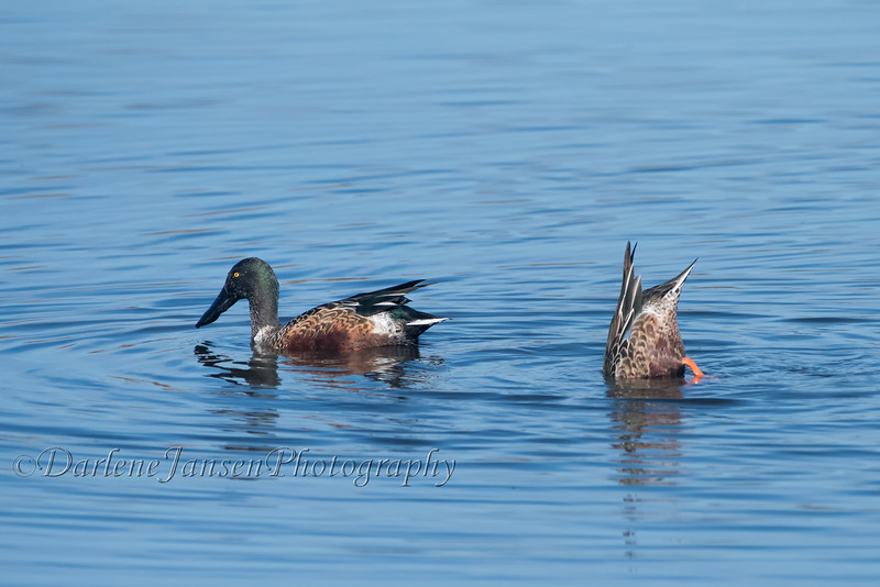Northern Shoveler at Horicon Marsh
