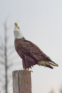 Singing Bald Eagle